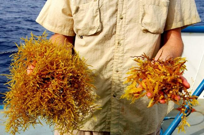 Two types of sargassum seaweed (Photo by rjsinenomine/Flickr)