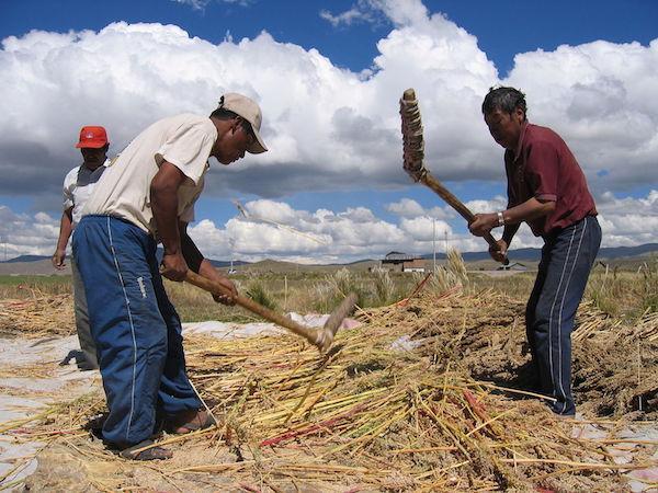 Farmers threshing quinoa near Puno, Peru (Michael Hermann/Wikimedia Commons)