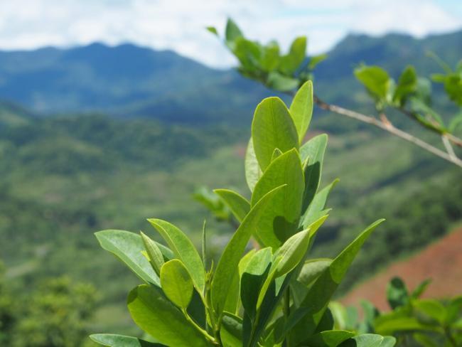 A coca leaf plant in Peru's VRAEM region in January 2020. (Photo by Thomas Grisaffi)