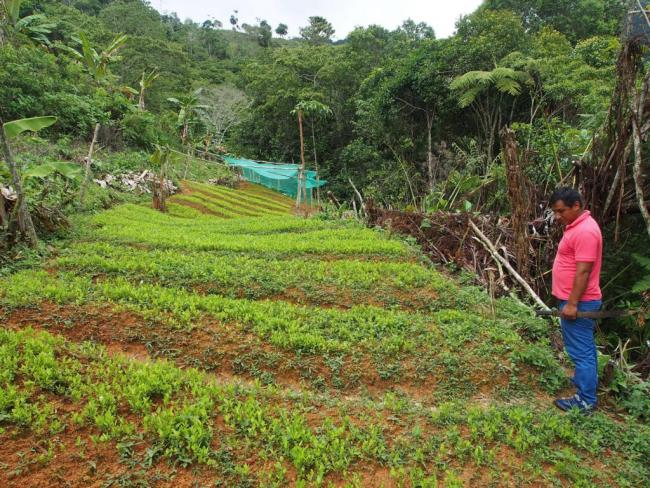 A farmer admires his coca seedlings. (Photo by Thomas Grisaffi)