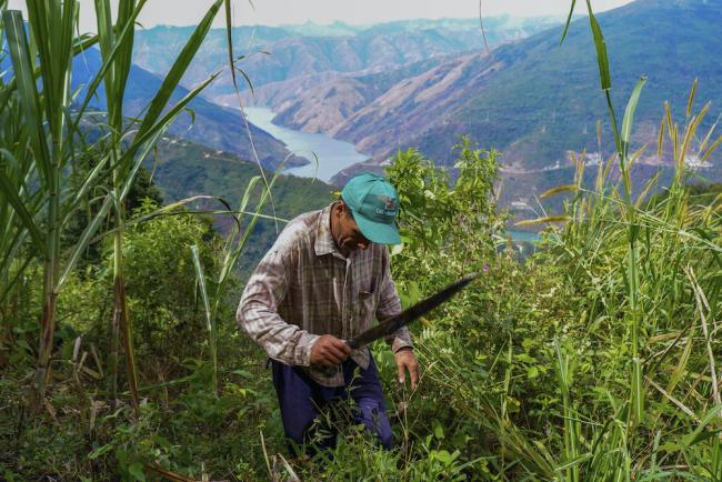 Fabio Muñoz cuts weeds away from his sugar cane plants on his farm above the Cauca river in Briceño, Colombia. (Photo by Alex Diamond)