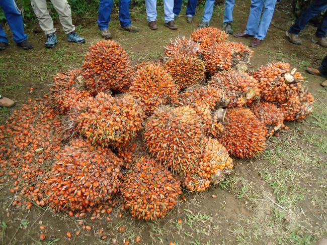 RSPO delegates examining fresh palm bunches in Orellana, Ecuador. (Adrienne Johnson)
