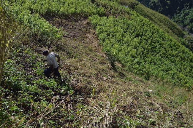 A peasant in Briceño uproots coca plants in July after receiving the first payment from Colombian peace accords's crop substitution program. (Photo by Isabel Peñaranda)