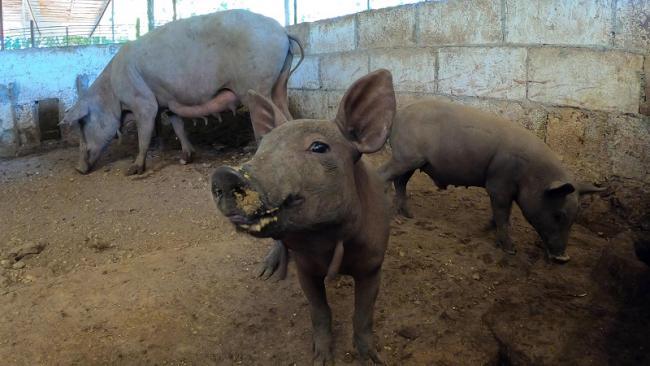 La industria porcina mexicana planea continuar expandiendo su capacidad y producción establecidas abriendo nuevos mercados como China (Foto: cortesía de Greenspeace México).