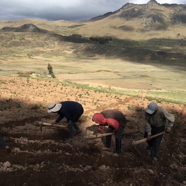 Una familia en el Parque de la Papa en Perú trabaja preparando el suelo para sembrar papas (David Greenwood-Sánchez).