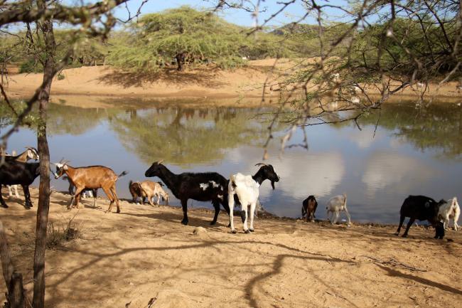 Near Ipapure, a goat herd huddles around a small reservoir known in the Wayuunaiki language as a jagüeye. (Photo by Christina Noriega)