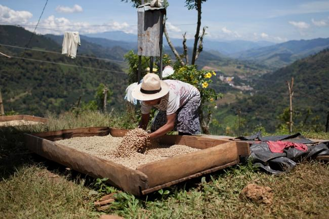 Alicia Tamanís, an Embera Chami woman and coffee grower from the Karmata Rua Indigenous Reserve in Jardín, Antioquia, Colombia, works on her harvest. October 6, 2013. (Photo by James Rodríguez)