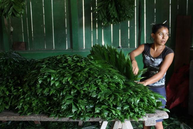 The ornamental plant Xate is one of the products commercialized through a sustainable management plan in the town of Uaxactún, Petén, Guatemala (Photo: Martha Pskowski).