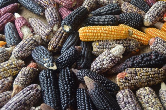 Diverse maize varieties from the Caribbean Region of Colombia (Valeria García López).