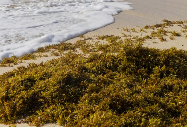 Sargassum seaweed poses challenges across the Caribbean. (Photo by Jonathan Wilkins/Wikimedia)