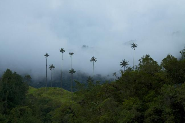 Wax palms towering above a cloud forest in Colombia. (McKay Savage)