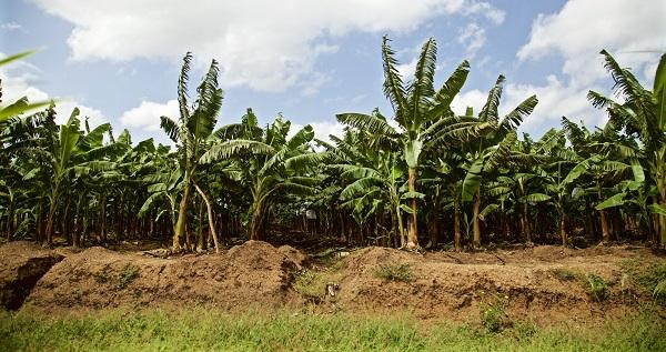Banana plantation in Haiti on land seized by Agritrans (Photo by Joshua Steckley)