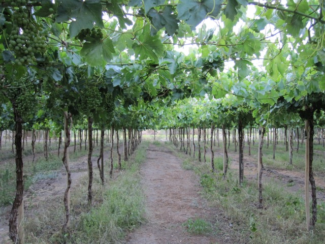 Table grapes grown for export in the Huasco Valley (Photo by Fabiana Li)