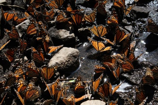 Monarch butterflies overwinter in the forests of eastern Michoacán and the State of Mexico (Salvador Altamirano)